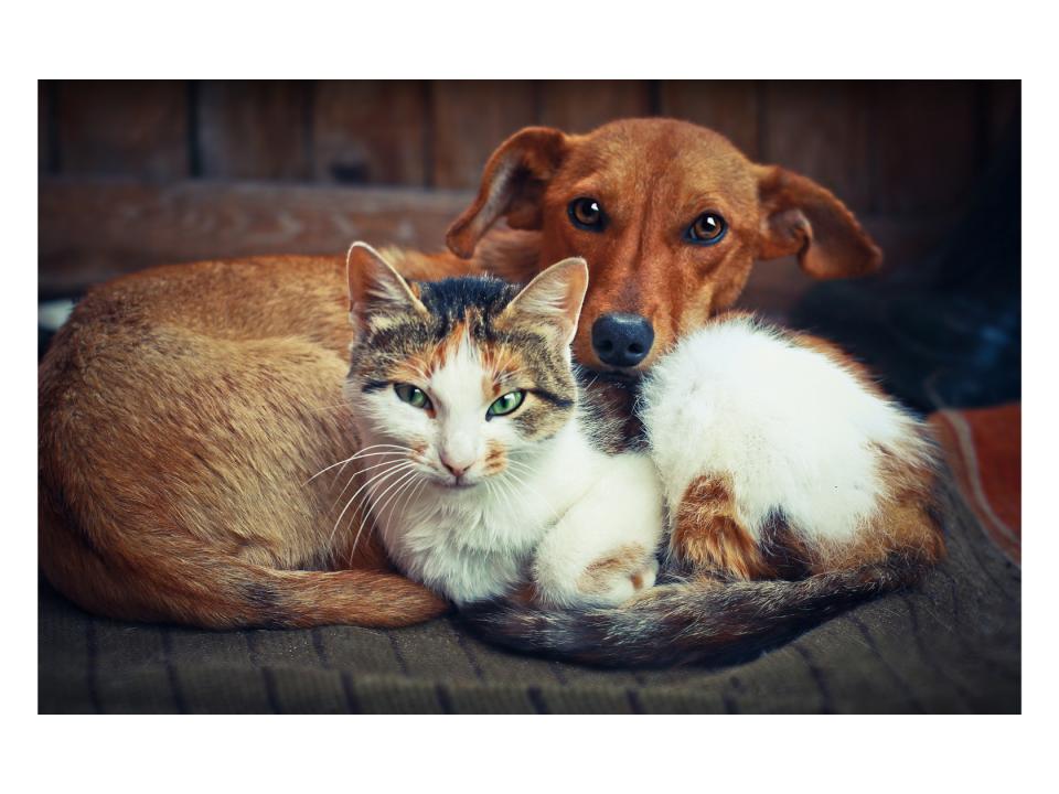 استئصال القولون في القطط والكلاب